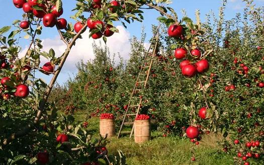 苹果期货2.png